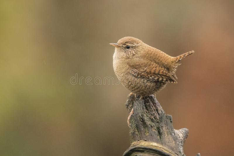 Roitelet, troglodytes de troglodytes, petit oiseau chanteur photos libres de droits