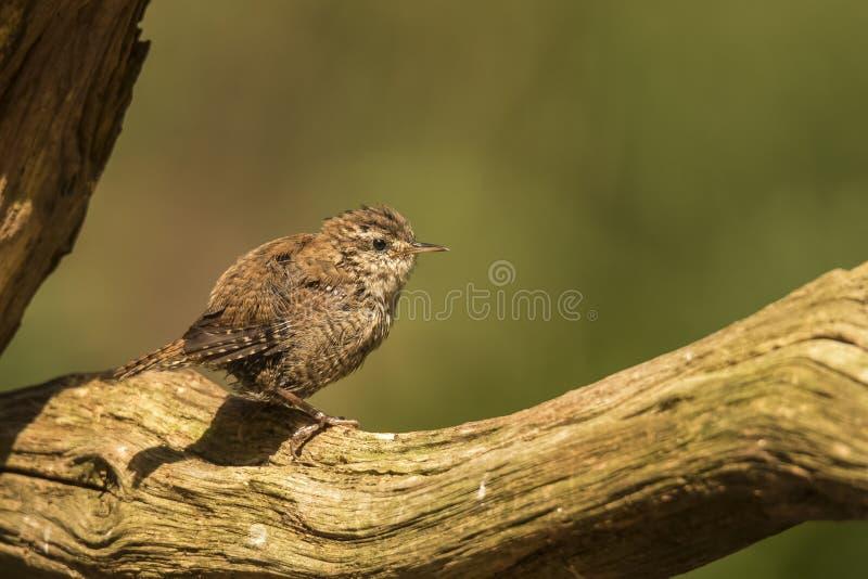 Roitelet, troglodytes de troglodytes, petit oiseau chanteur photographie stock