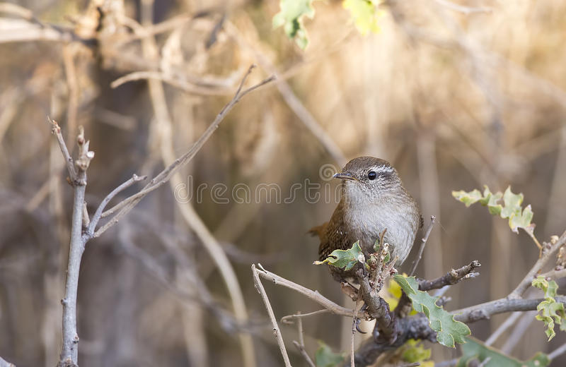 Roitelet (troglodytes de troglodytes) photo stock