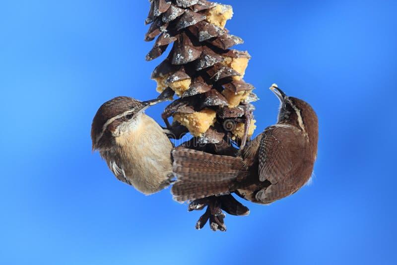 Roitelets de Caroline sur un cône de pin image libre de droits