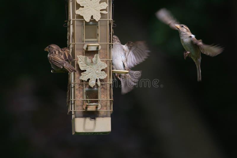 Roitelets de Chambre au câble d'alimentation d'oiseau image stock