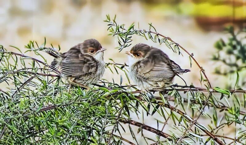 Roitelets féeriques superbes de bébé juste hors de nid photographie stock libre de droits