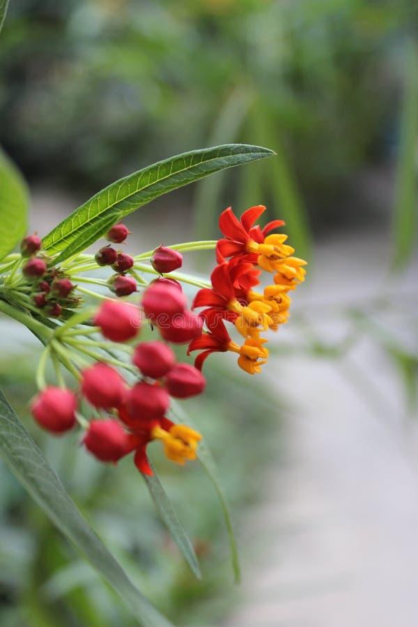 Roja de Flor imagenes de archivo