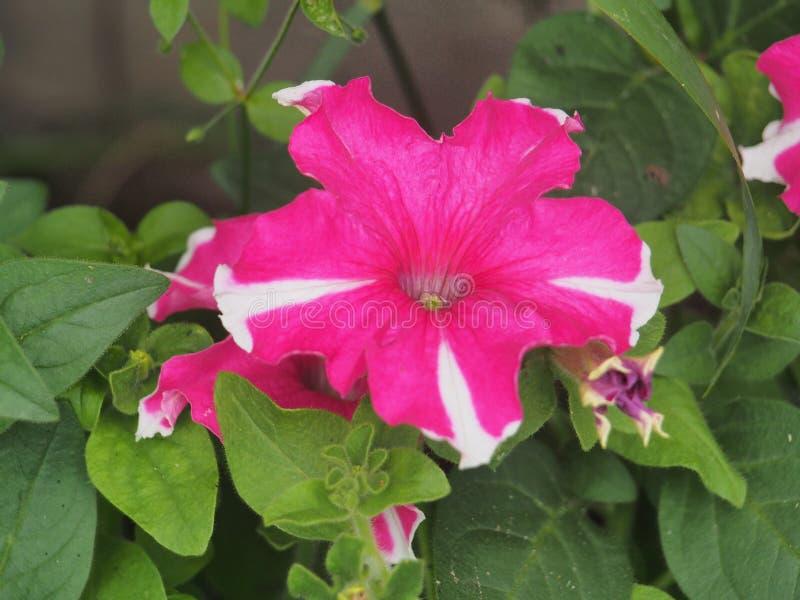 Rojo, blanco, capullos rosas de las flores de Petunia Jardinería imagen de archivo