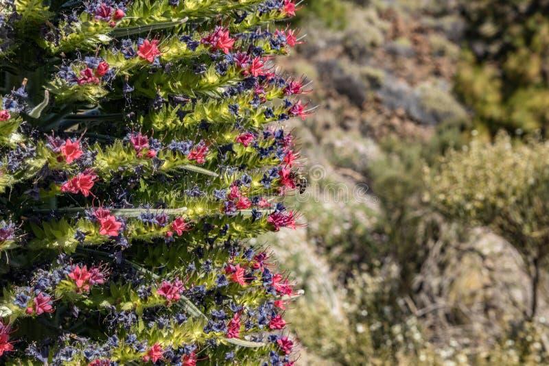 Rojo bonito endêmico de florescência de Tajinaste da flor - abelhas do wildpretii- do Echium os poucos e que voam ao redor O temp imagem de stock royalty free