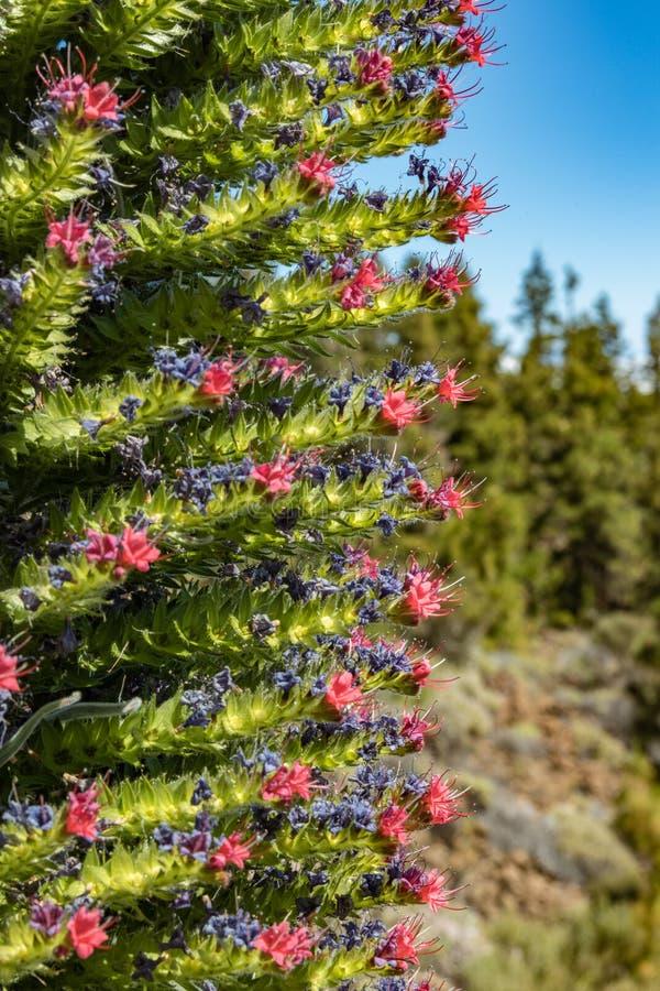 Rojo bonito endêmico de florescência de Tajinaste da flor - abelhas do wildpretii- do Echium os poucos e que voam ao redor O temp imagens de stock royalty free