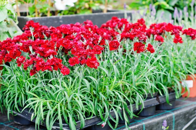 Rojo chinensis del clavel (flores de los claveles) foto de archivo