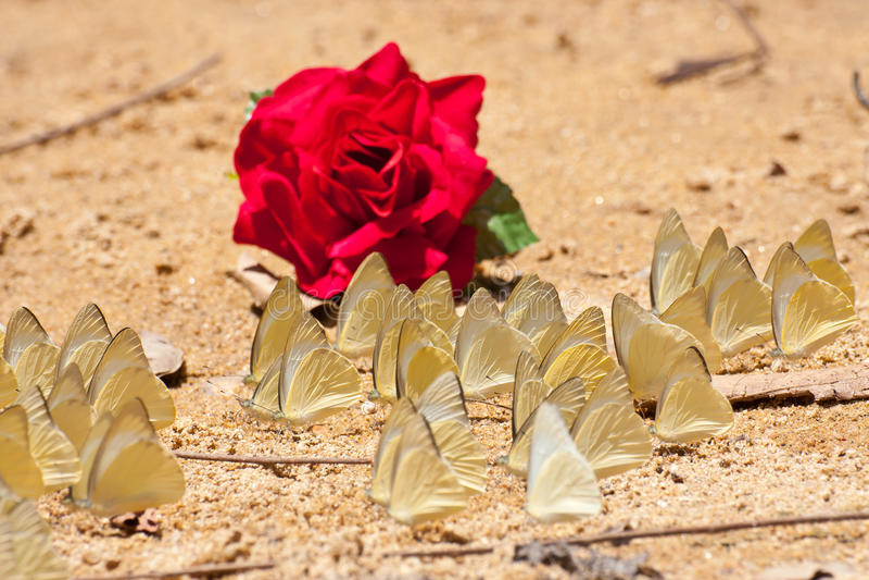 Rojo color de rosa y grupo de mariposa del pieridae imagen de archivo libre de regalías