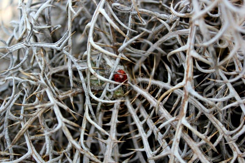 rojo de la mariquita con los puntos negros fotos de archivo