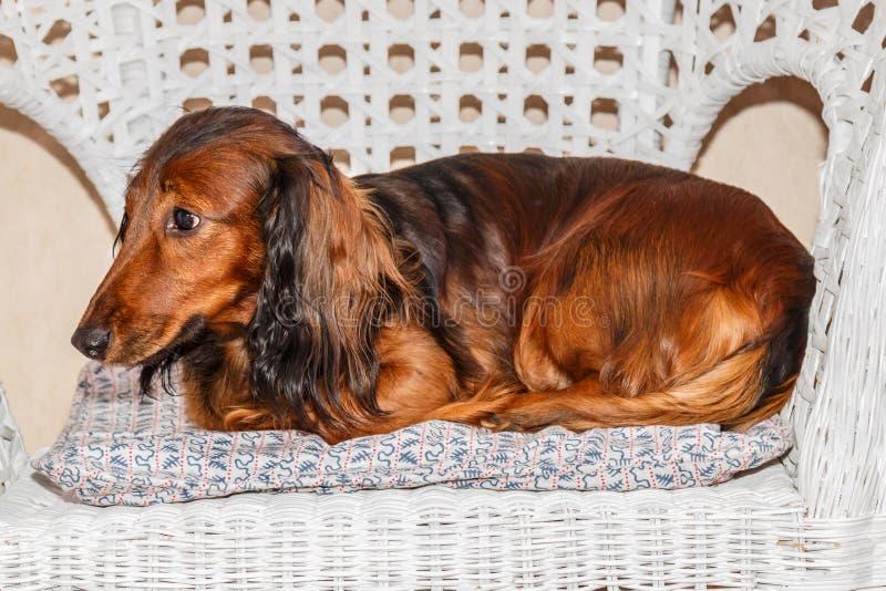 Rojo de pelo largo estándar del perro basset - perro de caza imagen de archivo libre de regalías