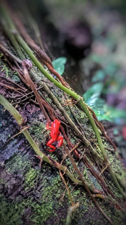 Rojo de Rana imagens de stock royalty free