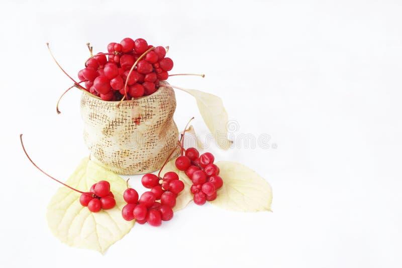 Rojo de Schisandra en bolso de cerámica Schizandra maduro rojo en cubo Baya de cinco sabores fotografía de archivo libre de regalías