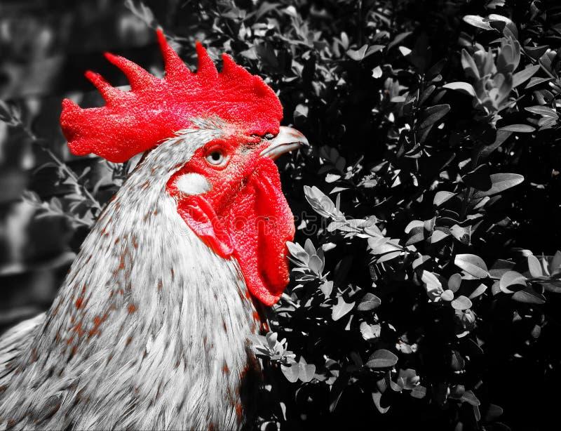 Rojo del gallo fotos de archivo