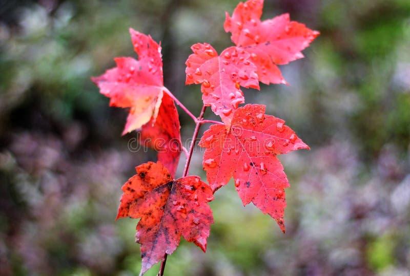 Rojo del otoño imagen de archivo libre de regalías