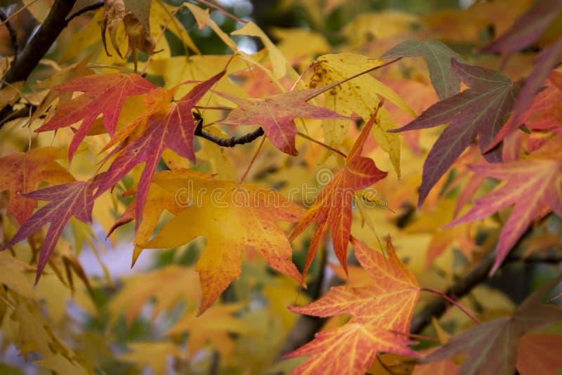 Rojo del otoño, amarillo, oro y styraciflua verde del liquidámbar de las hojas, árbol ambarino  imagen de archivo libre de regalías