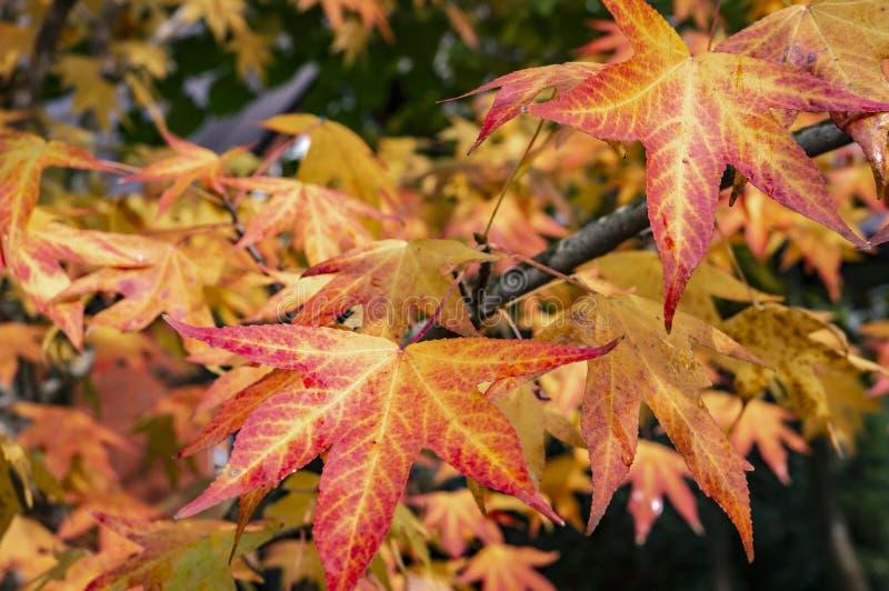 Rojo del otoño, amarillo, oro y styraciflua verde del liquidámbar de las hojas, árbol ambarino Un primer de la hoja en foco fotos de archivo