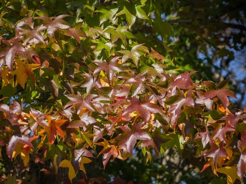Rojo del otoño, amarillo, oro y styraciflua verde del liquidámbar de las hojas, árbol ambarino Un primer de la hoja en foco contr fotos de archivo