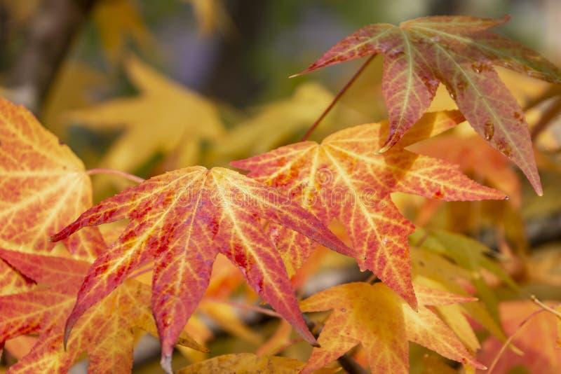 Rojo del otoño, amarillo, oro y styraciflua verde del liquidámbar de las hojas, árbol ambarino Un primer de la hoja en foco contr foto de archivo