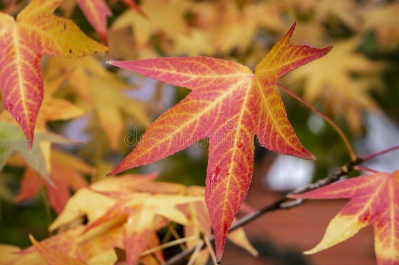 Rojo del otoño, amarillo, oro y styraciflua verde del liquidámbar de las hojas, árbol ambarino Un primer de la hoja en foco contr fotografía de archivo
