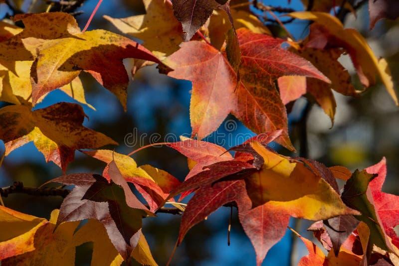 Rojo del otoño, amarillo, oro y styraciflua verde del liquidámbar de las hojas, árbol ambarino Un primer de la hoja en foco contr imagenes de archivo