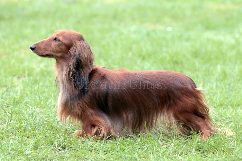 Rojo estándar de pelo largo del perro basset típico en el jardín fotografía de archivo libre de regalías