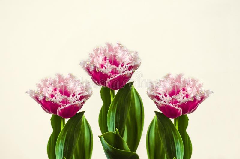 Rojo grande con la franja rosada, tulipanes de Terry en el fondo blanco imagen de archivo libre de regalías