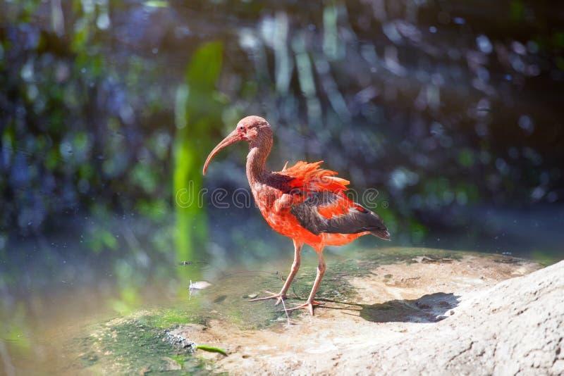 Rojo juvenil y Gray Scarlet Ibis Bird que se levantan en piedra en fondo de la charca de agua en cierre soleado del día de verano foto de archivo