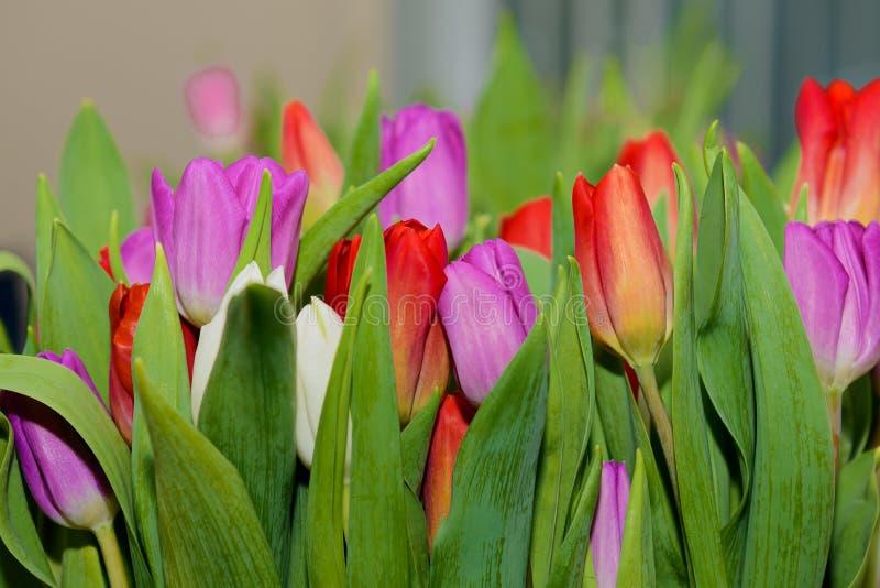 Rojo, lila y tulipanes blancos foto de archivo libre de regalías