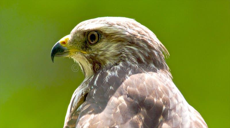 Rojo-Llevó a hombros el retrato del halcón fotografía de archivo