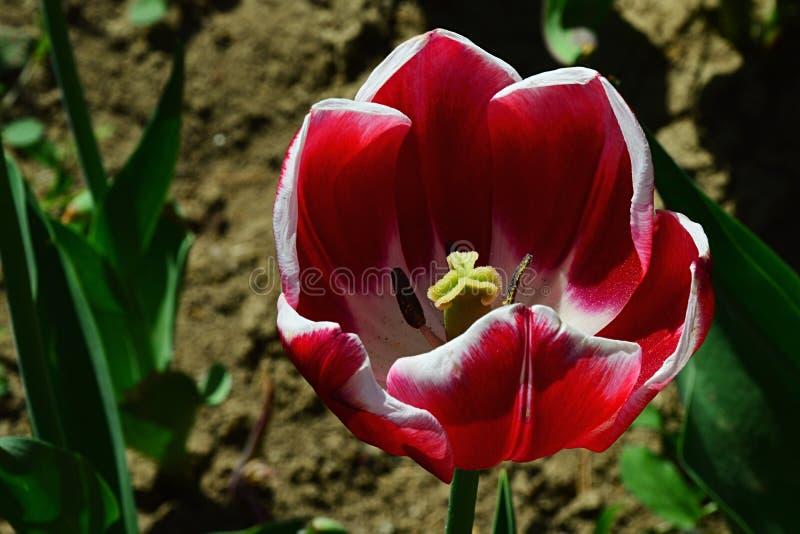 Rojo oscuro al híbrido violeta de la flor del tulipán en flor lleno con el esquema blanco del pétalo foto de archivo libre de regalías