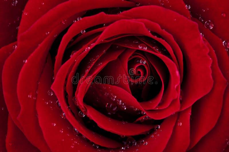 Rojo oscuro se levantó con gotas de rocío fotos de archivo