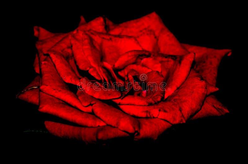 Rojo oscuro subió en naturaleza imagenes de archivo