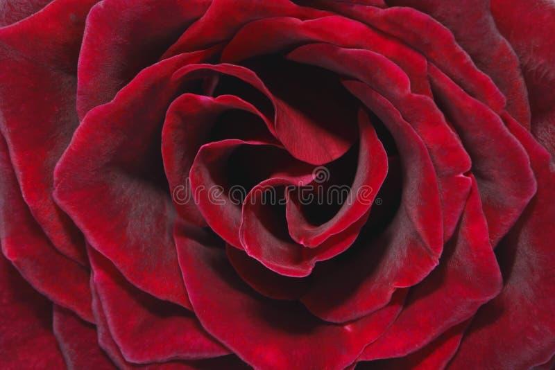 Rojo Rose de Lushious fotografía de archivo