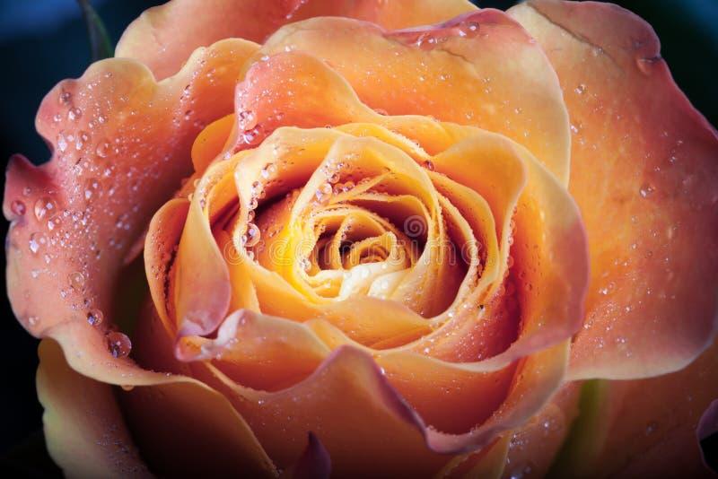 Rojo y flor color de rosa de la naranja fotografía de archivo
