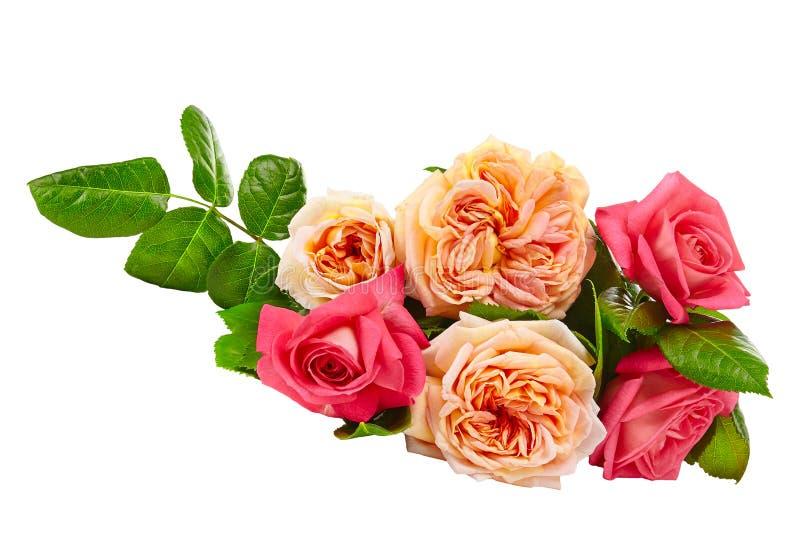 Rojo y rosas del melocotón aisladas en el fondo blanco fotografía de archivo libre de regalías