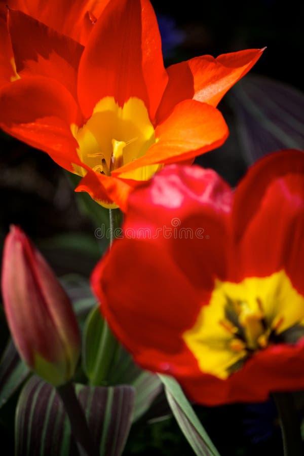 Rojo y tulipán abierto amarillo imagen de archivo libre de regalías