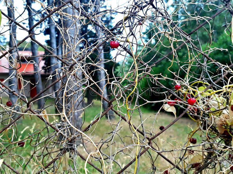 Rojos de frutos d'escroquerie de silvestre de Planta/usine sauvage avec les baies rouges images stock