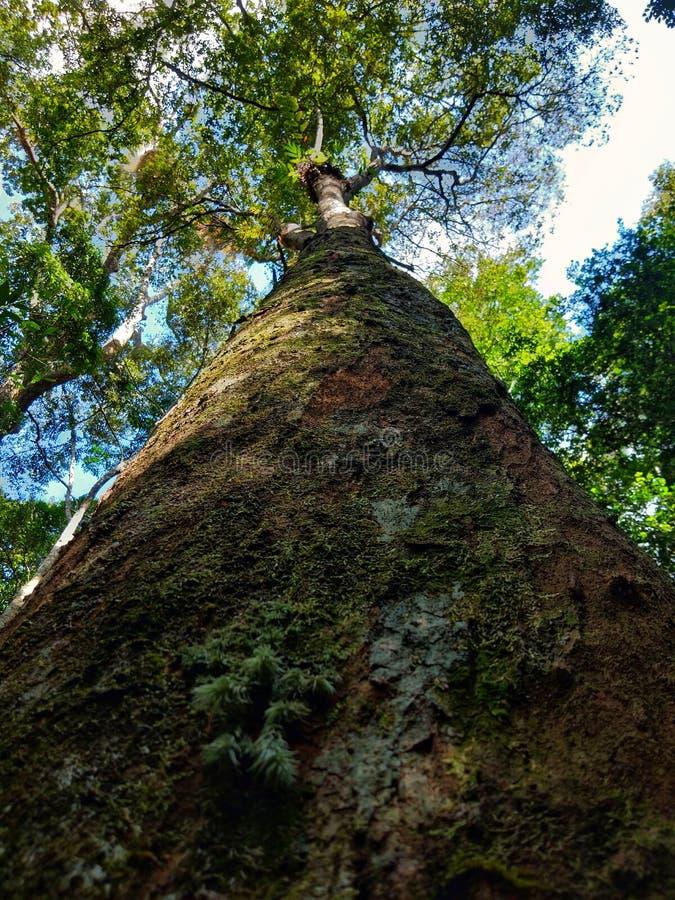 100 rok drzewnych zdjęcia stock