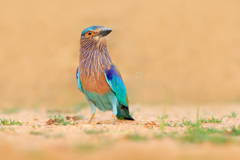Rol van Sri Lanka, Azië Van de de kleuren lichtblauwe vogel van Nice Indische de Rolzitting op de zandweg met gras, vage gele bac royalty-vrije stock foto