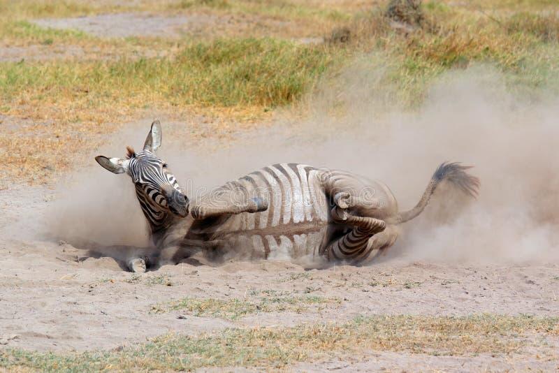 Rolamento da zebra das planícies na poeira fotografia de stock royalty free
