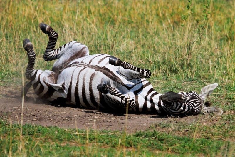 Rolamento da zebra nas planícies empoeiradas secas no Masai mara foto de stock royalty free