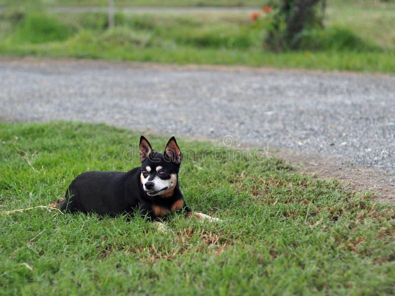Rolamento diminuto velho bonito bonito gordo preto feliz da dança do cão do pincher exterior no assoalho da grama verde imagem de stock royalty free