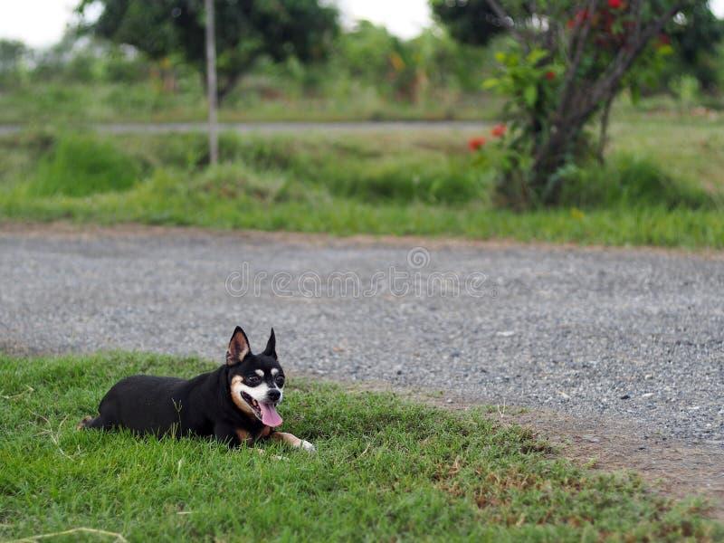 Rolamento diminuto velho bonito bonito gordo preto feliz da dança do cão do pincher exterior no assoalho da grama verde imagens de stock