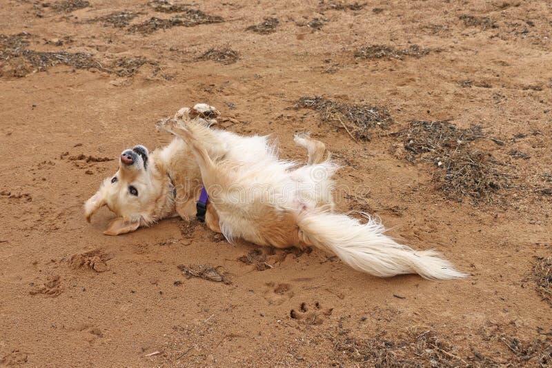 Rolamento do cão do golden retriever na areia foto de stock