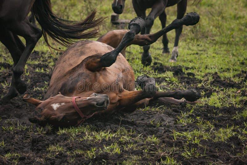 Rolamento do cavalo na lama em um campo de grama aberto imagem de stock royalty free