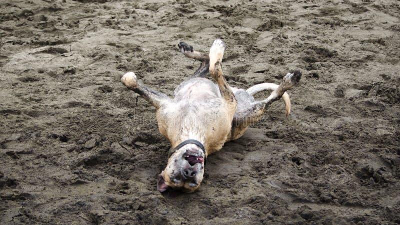 Rolamento feliz do cão na praia imagens de stock