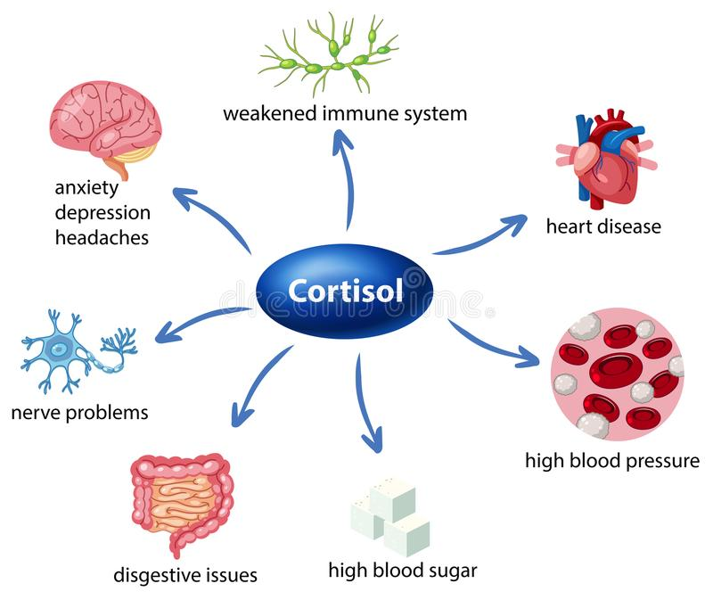 The role of cortisol in the body diagram. Illustration stock illustration