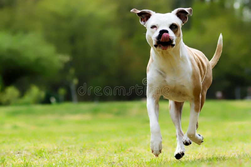 Rolig amerikansk bulldogg, hopp arkivbild
