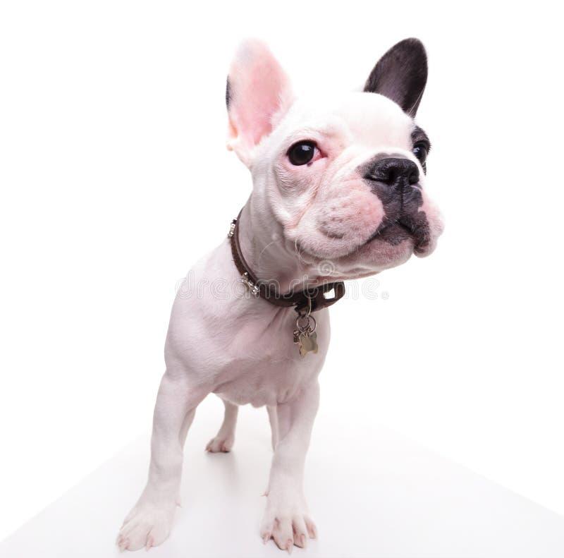 Rolig bild av en valp för fransk bulldogg som ser till sidan arkivbilder