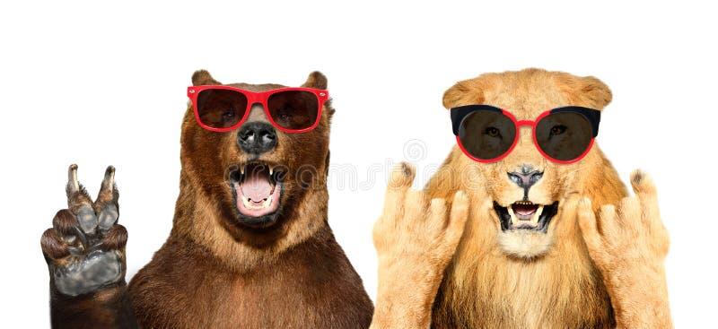 Rolig björn och lejon i solglasögon som visar gester royaltyfria foton